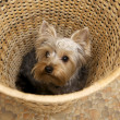 Yorkshire Terrier — Stock Photo #4917138