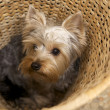 Yorkshire Terrier — Stock Photo #4917143
