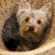 Yorkshire Terrier — Stock Photo #4917147