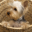 Yorkshire Terrier — Stock Photo #4917157