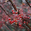 Rain-dripping red berries - Stock Photo