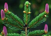 Female spruce cones — Stock Photo