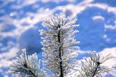 Winter pine top #2 — Stock Photo