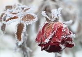 The frozen rose — Stock Photo