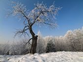 The cherry tree covered with snow — Stock Photo