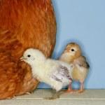 Baby chicks — Stock Photo