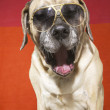 English Mastiff Dog — Stock Photo