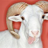 Cheeky ram — Stock Photo