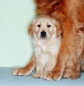 Retriever with pup — Stock Photo