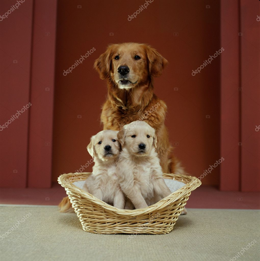 Golden retriever family — Stock Photo #4557788