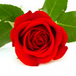 Red rose — Stock Photo #4486180