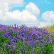 ������, ������: Flowering field and blue sky