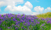 Flowering field and blue sky — Stock Photo