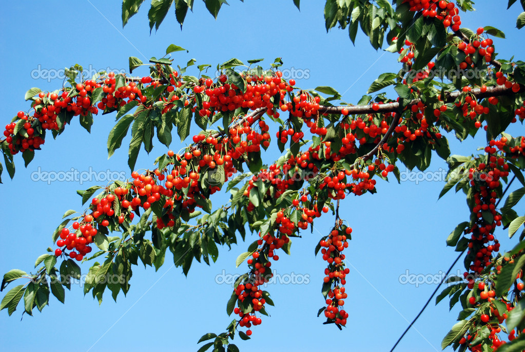 在成熟的樱桃树上— 照片作者