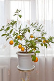 Lemons on a branch — Stock Photo