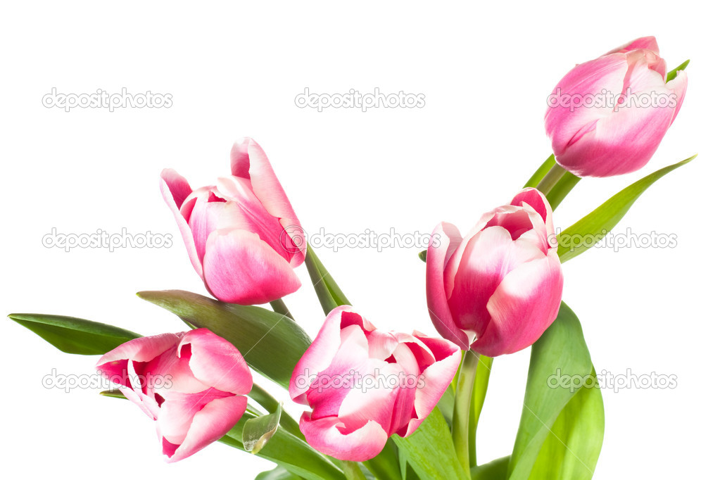 Spring holiday pink-white tulip flowers isolated on white background — Stock Photo #4466538