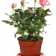 Blossoming rose plant in flowerpot — Stock Photo