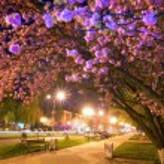 Night urban view with japanese cherry blossom — Stock Photo