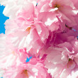Royalty-Free Stock Photo: Pink  japanese cherry blossom