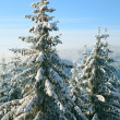 Winter spruces in mountain — Stock Photo