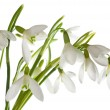 Snowdrop flower isolated — Stock Photo #4478104