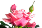 Blossoming rose plant — Stock Photo