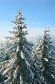 Winter spruces in mountain — Stok fotoğraf