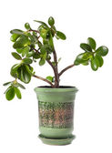 Crassula (dollar tree) plant isolated on white. — Stock Photo