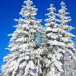 Stock Photo: Winter spruces tops