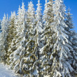 Winter spruce trees — Stock Photo #4503259