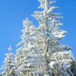 Winter spruces tops — Stock Photo #4503261