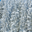 Winter forest ( nature background) - Stock Photo
