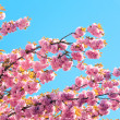 Pink japanese cherry blossom — Stock Photo #4507385