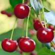 Royalty-Free Stock Photo: Twig of cherry-tree with red cherries