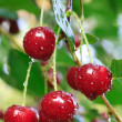 Twig of cherry-tree with red cherries — Stock Photo #4507677