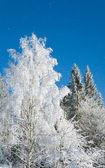 Winter trees and snowfall — Stock Photo
