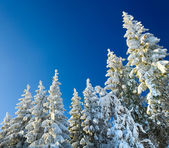 Winter spruce tops (Christmas background) — ストック写真