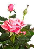 Kwitnąca roślina róża z kroplami rosy — Zdjęcie stockowe