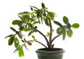 Crassula (dollar tree) plant isolated on white. — Stock Photo