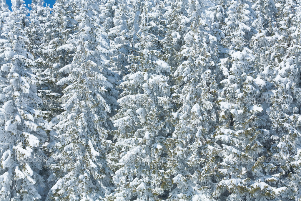 Winter snowy fir trees ( nature background) — Stock Photo #4507350
