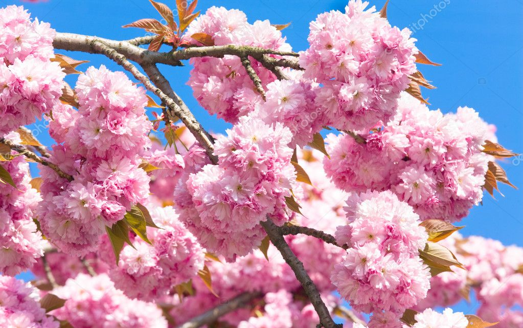 Macro pink japanese cherry twig blossom on blue sky background — Stock Photo #4507356
