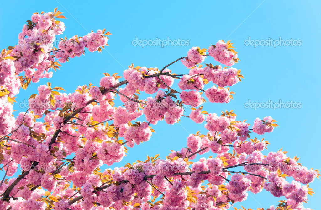 Macro pink japanese cherry twig blossom on blue sky background  Stock Photo #4507385