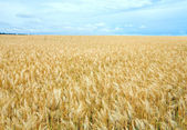 Beautiful summer wheat field. — Stock Photo
