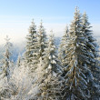 Winter spruces in mountain — Stock Photo #4528038