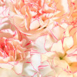 Stock Photo: White-pink carnation flowers background