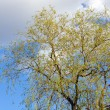 Spring willow tree on sky background — Stock Photo #4528512