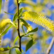 Royalty-Free Stock Photo: Spring willow twigon blue sky background