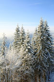Winter spruces in mountain — Stockfoto