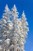 Winter spruces tops and snowfall on sky background — Stock Photo
