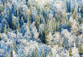 Winter forest background — Stockfoto